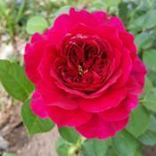 Location: My gardenDate: March 28,2017Lovely, fragrant Rose!