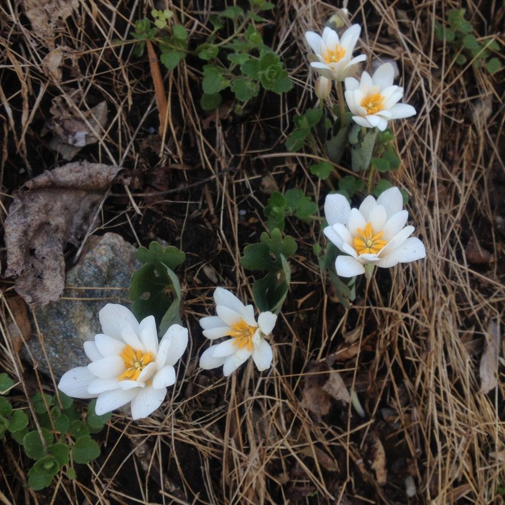 Photo of Bloodroot (Sanguinaria canadensis) uploaded by csandt