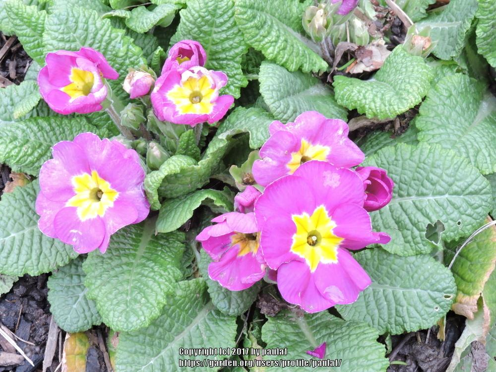 Photo of Primroses (Primula) uploaded by paulaf