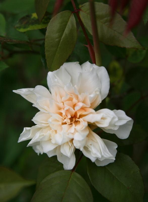 Photo of Rose (Rosa 'William Allen Richardson') uploaded by Calif_Sue