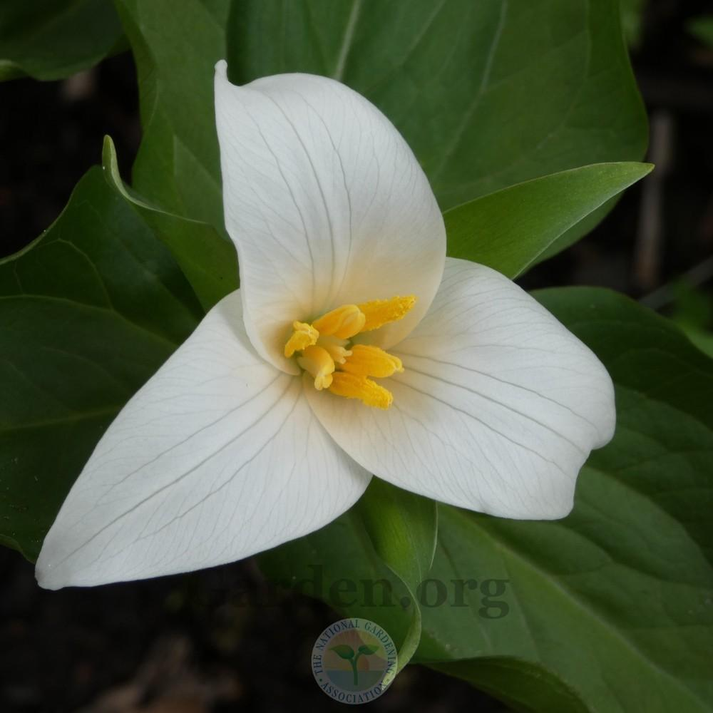 Trilliums Plant Care And Collection Of Varieties Garden