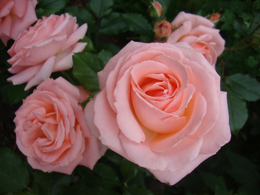 Roses plant care and collection of varieties - Rose cultivars garden ...