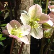 Location: Philadelphia Flower ShowDate: March 2017Blooms much more up-facing than most hellebores