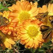 Location: central IllinoisDate: 10-30-10Skippers on chrysanthemum