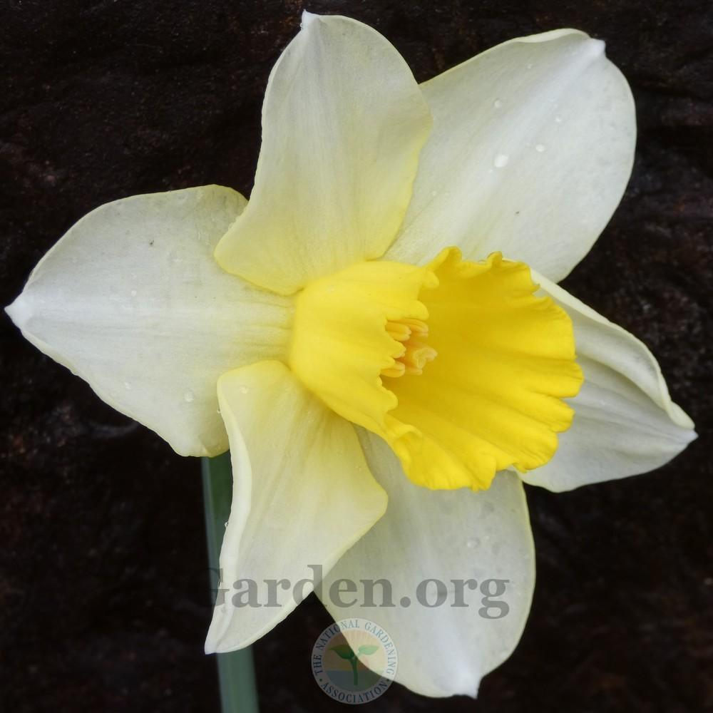 Photo of Daffodils (Narcissus) uploaded by Patty