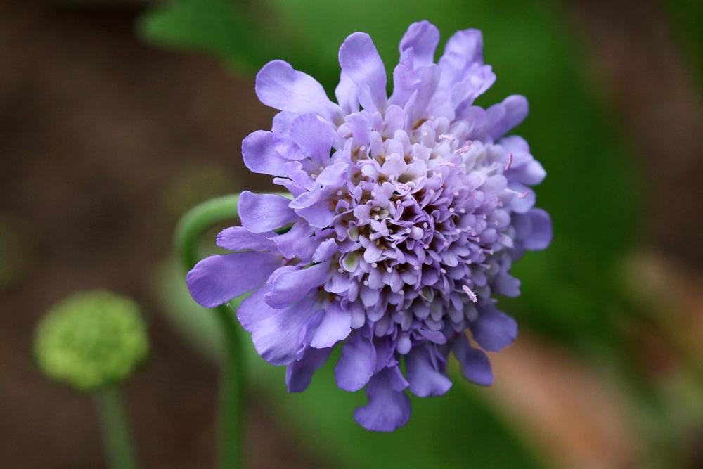 Photo of Pincushion Flower (Scabiosa) uploaded by GrammaChar