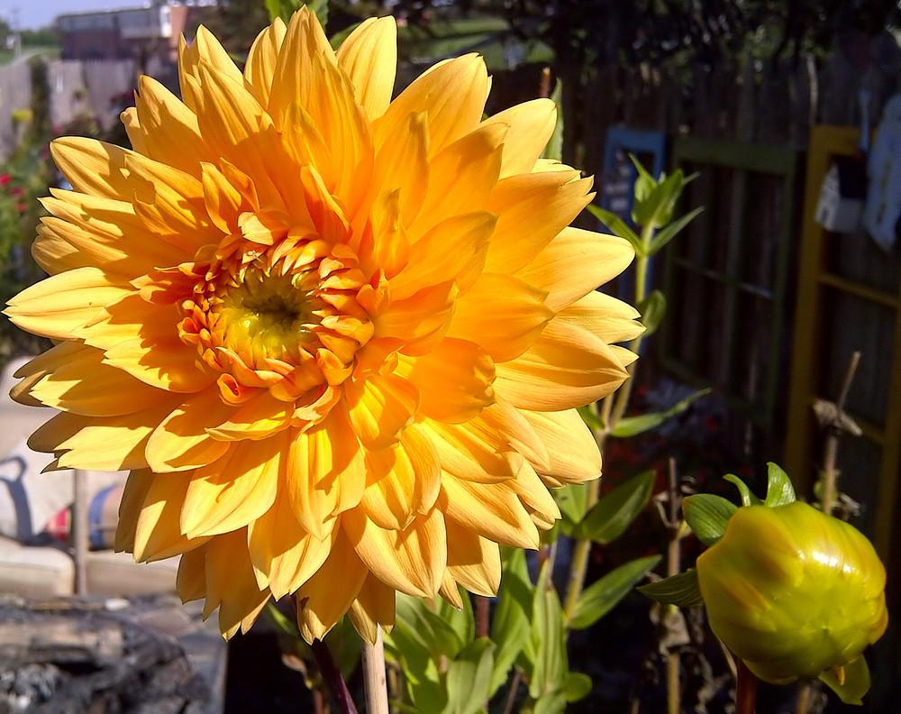 Photo of Dahlias (Dahlia) uploaded by doctorpartlow