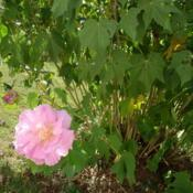 Location: AlabamaDate: 2014-06-27Confederate Rose bloom and foliage