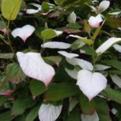 Location: Copenhagen, Denmark, EUDate: 2016-05-22Foliage with white splashes in spring, slowly turning pink