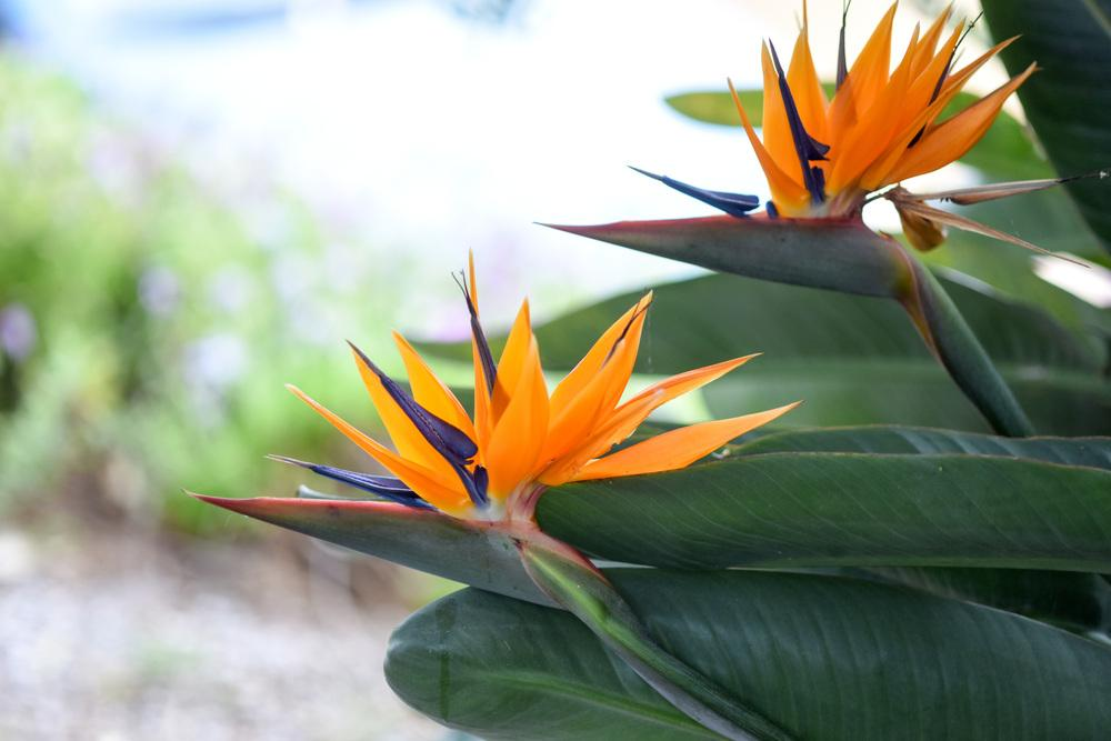 Photo of Bird-of-paradise (Strelitzia reginae) uploaded by cliftoncat