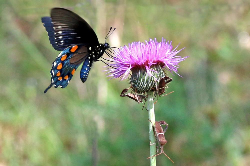 Photo of Texas Thistle (Cirsium texanum) uploaded by GrammaChar