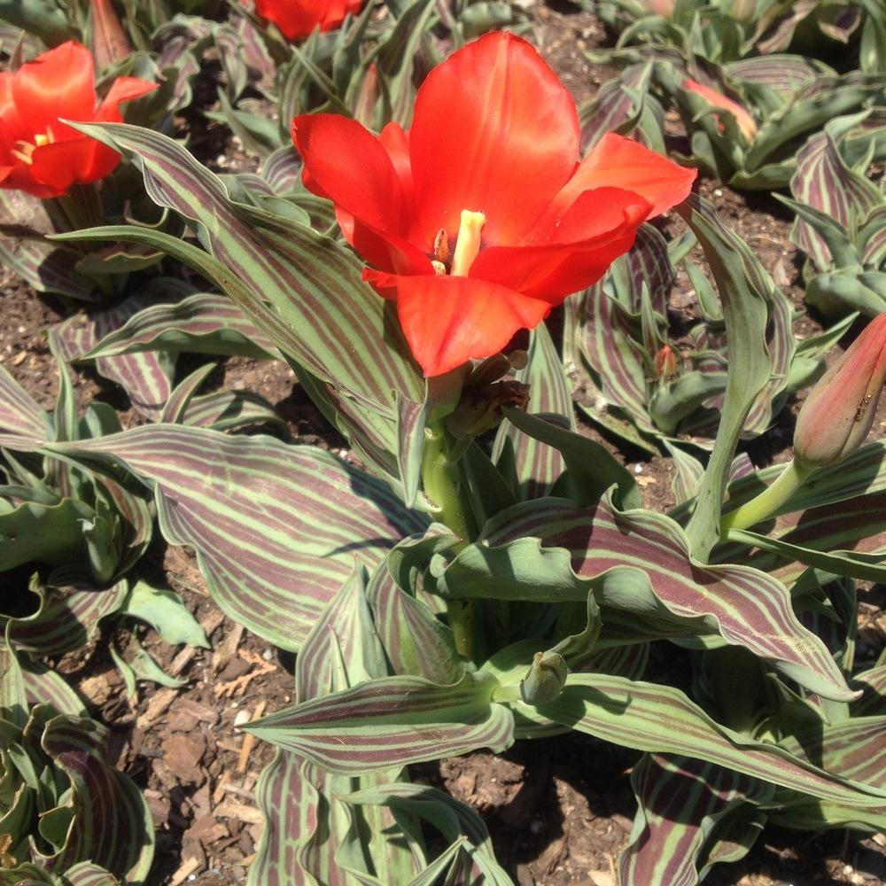 Photo of Greigii Tulip (Tulipa greigii 'Red Riding Hood') uploaded by csandt