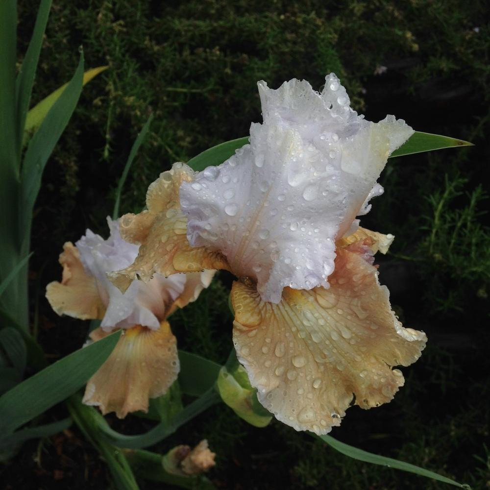Photo of Tall Bearded Iris (Iris 'Champagne Elegance') uploaded by lilpod13