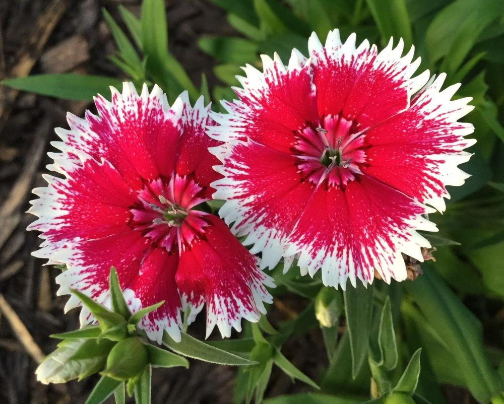 Photo of Sweet William (Dianthus barbatus) uploaded by scflowers