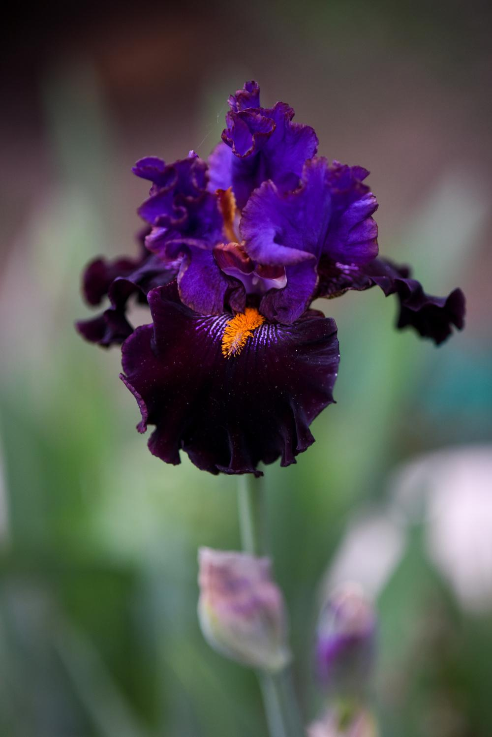 Photo of Tall Bearded Iris (Iris 'Cher and Cher Alike') uploaded by cliftoncat