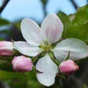 Location: Switzerland, in my gardenDate: 2017-04-13Malus 'ARIWA'