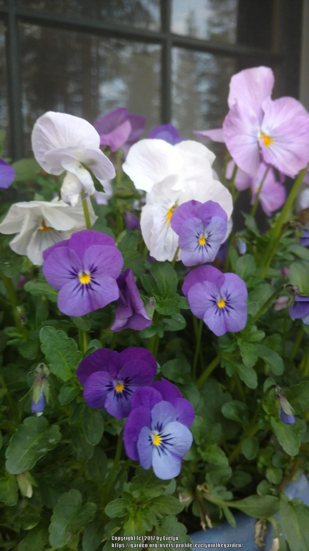 february's flower: violas (violets and pansies): violets - garden
