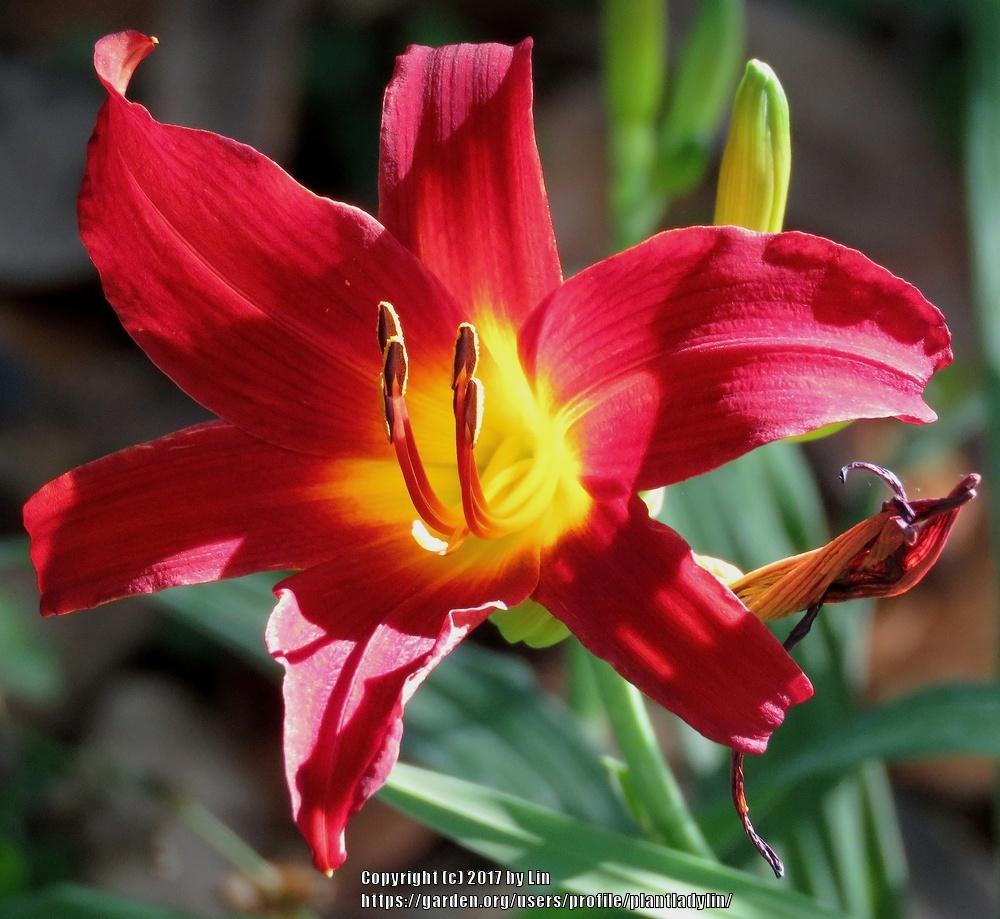 Photo of Daylilies (Hemerocallis) uploaded by plantladylin