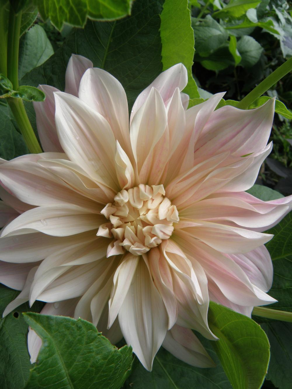 Photo of Dahlia 'Cafe au Lait' uploaded by IrisLilli