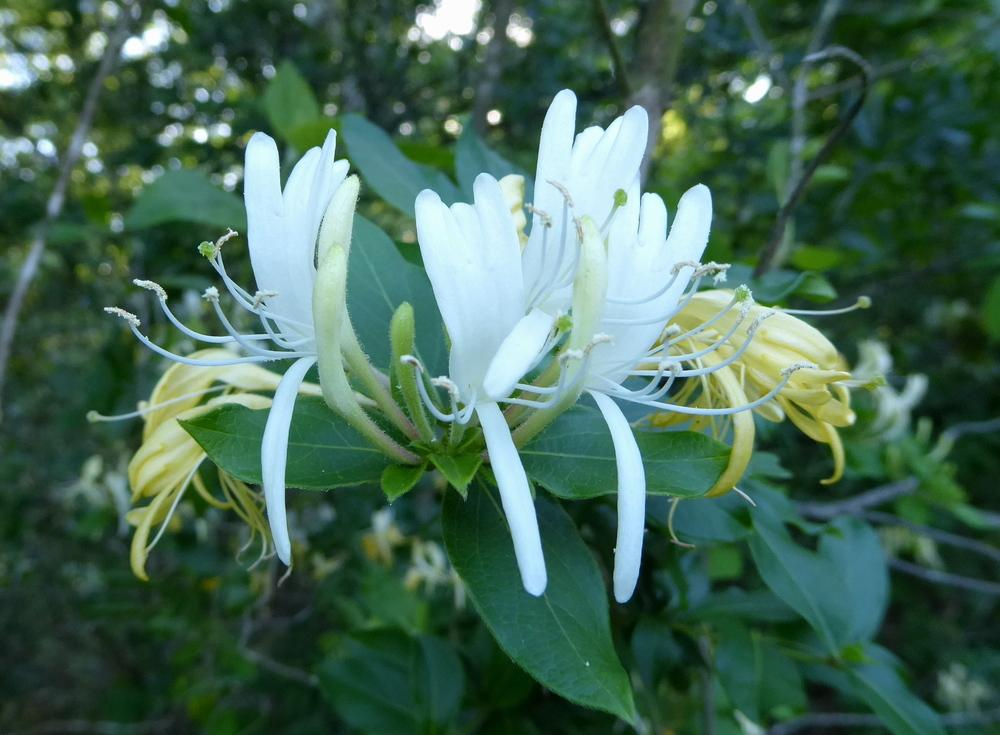 Photo of Japanese Honeysuckle (Lonicera japonica) uploaded by wildflowers