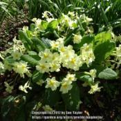 Location: RHS Harlow Carr, YorkshireDate: 2017-04-23Our much loved wild English primrose