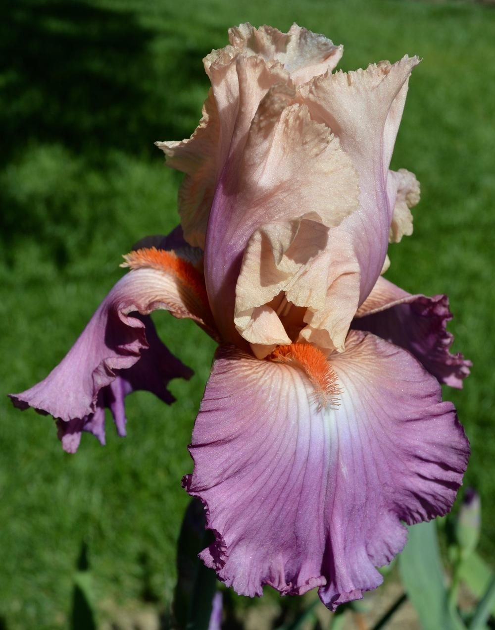 Irises Forum California Bloom Season 2017 Garden