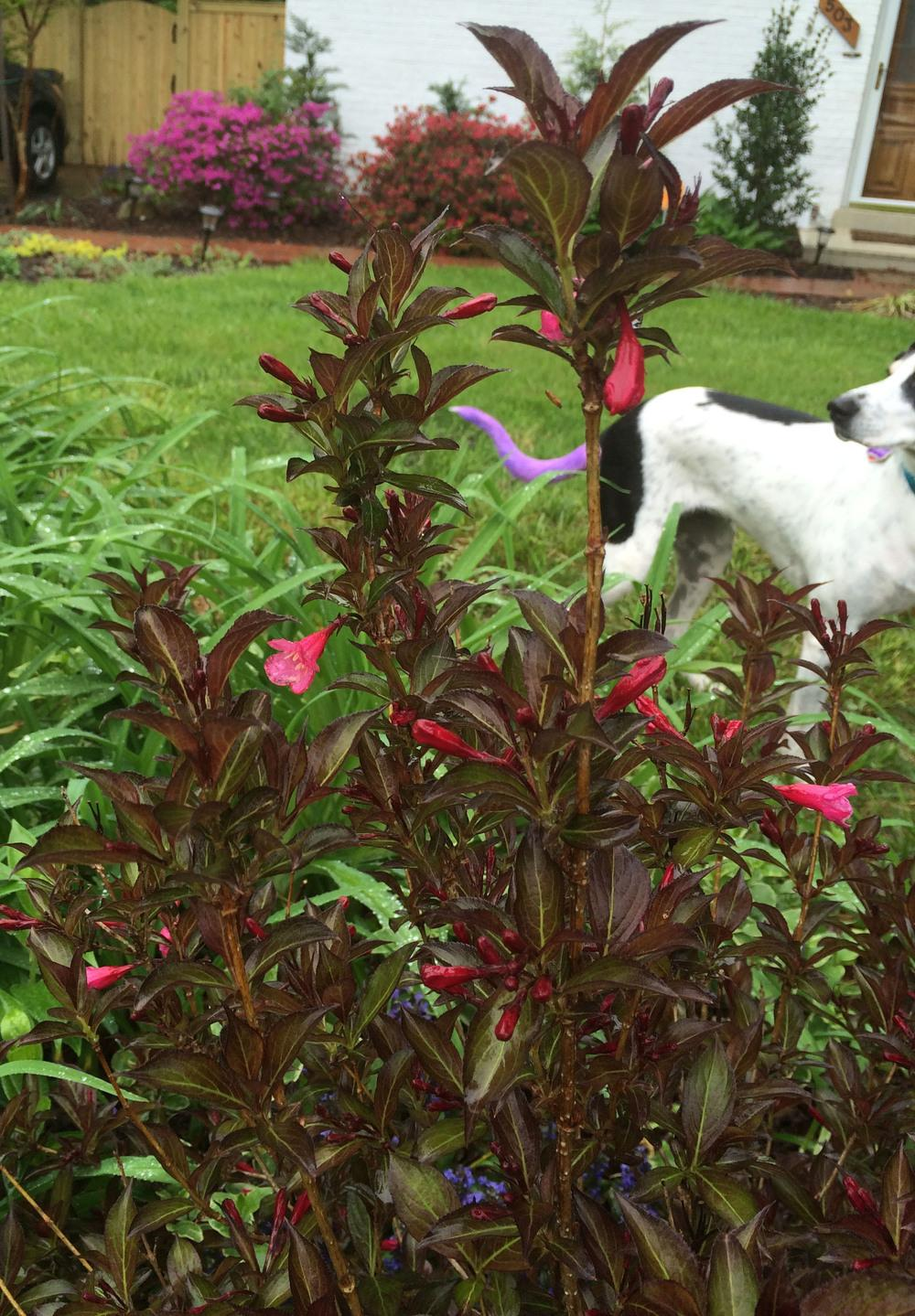 Plant Id Forum Shrub With Dark Leaves And Hot Pink Flowers Garden