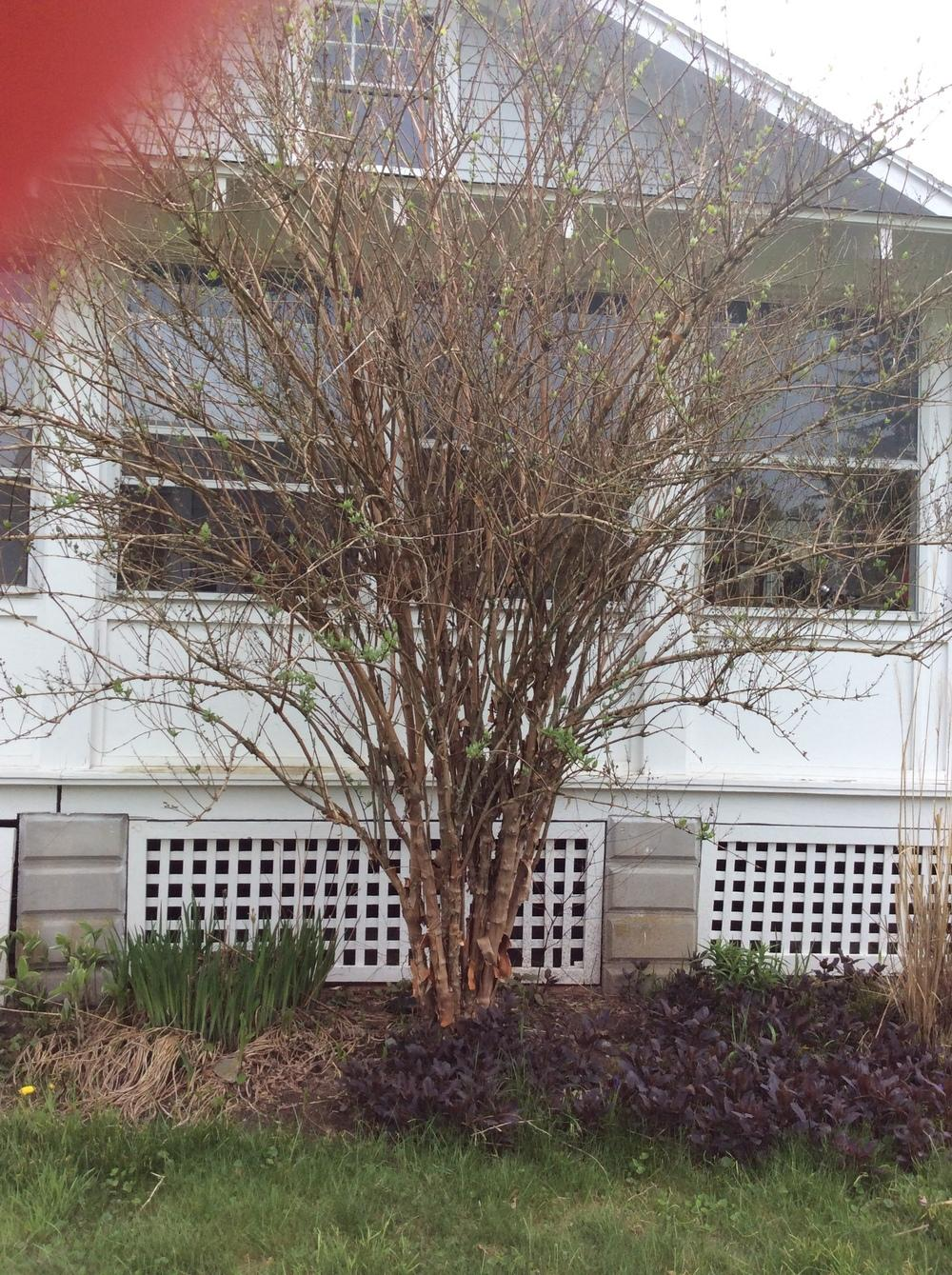 Plant Id Forum Multi Trunk Small Tree With Spring White Flowers