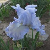 Location: Las Cruces, NMDate: 2017-04-26Tall Bearded Iris Absolute Treasure