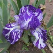 Location: Las Cruces, NMDate: 2017-04-20Species X Iris  Alpha Gnu