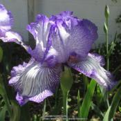 Location: Las Cruces, NMDate: 2017-04-15Tall Bearded Iris Autumn Circus