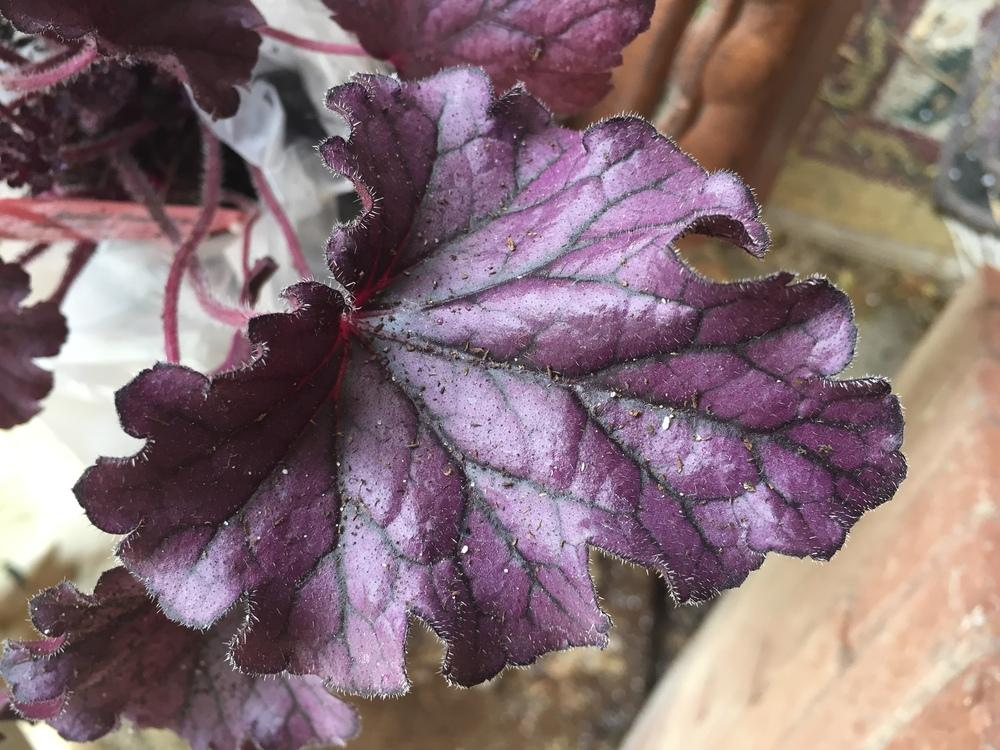 Photo of Coral Bells (Heuchera 'Forever Purple') uploaded by SpringGreenThumb