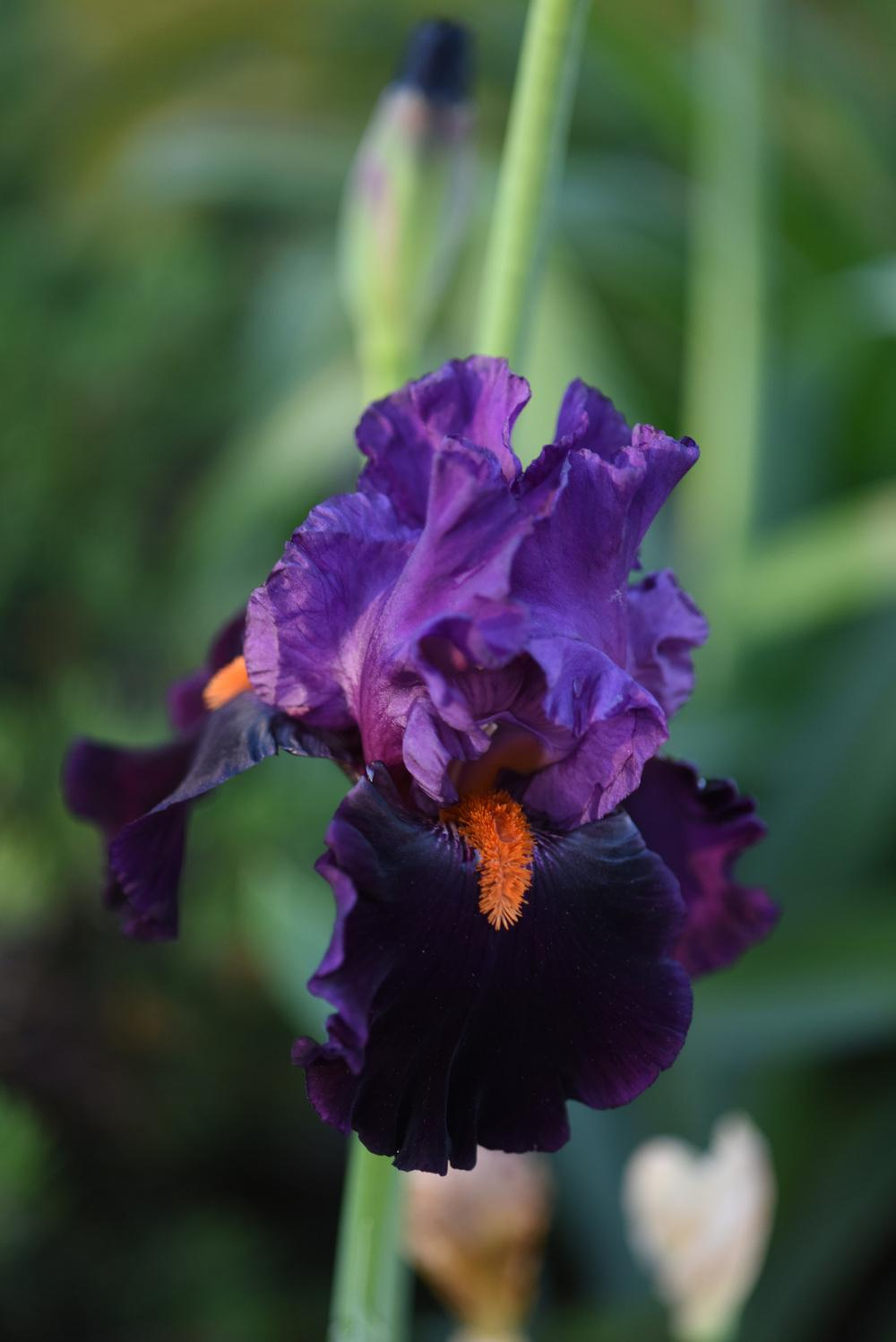 Photo of Tall Bearded Iris (Iris 'Sharp Dressed Man') uploaded by cliftoncat