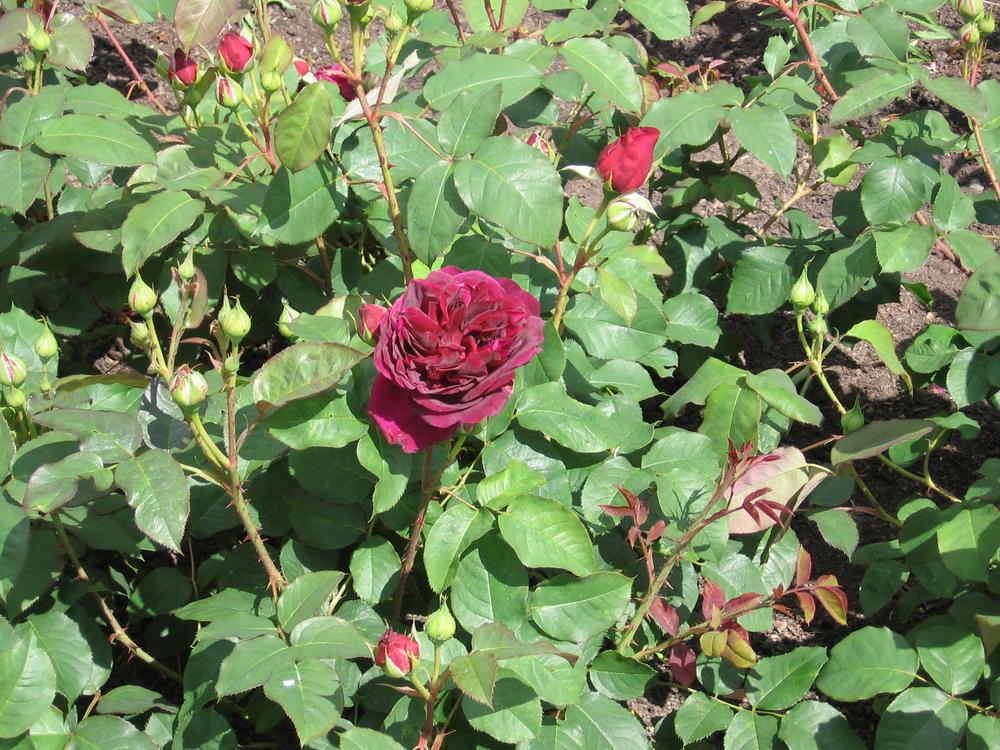 Photo of Rose (Rosa 'Munstead Wood') uploaded by Yorkshirelass