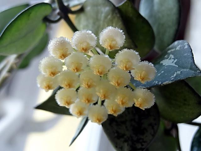 Photo of Hoya (Hoya lacunosa) uploaded by Orsola