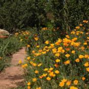 Location: Prescott, AZDate: 2017-05-01California Poppies Dress the Bare Bases of Climbing Ros