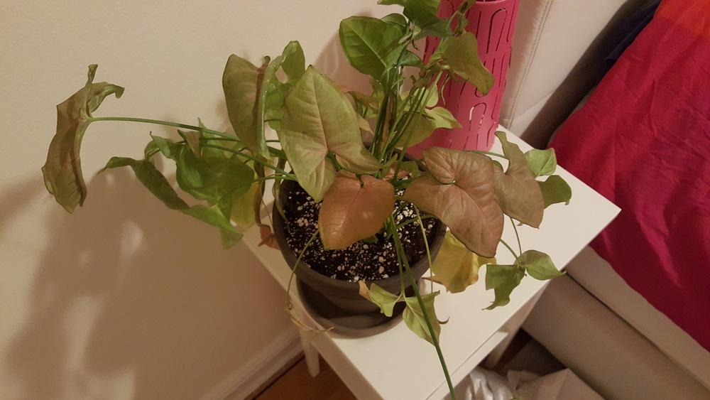 Ask a Question forum: Favorite house plant dying slowly but