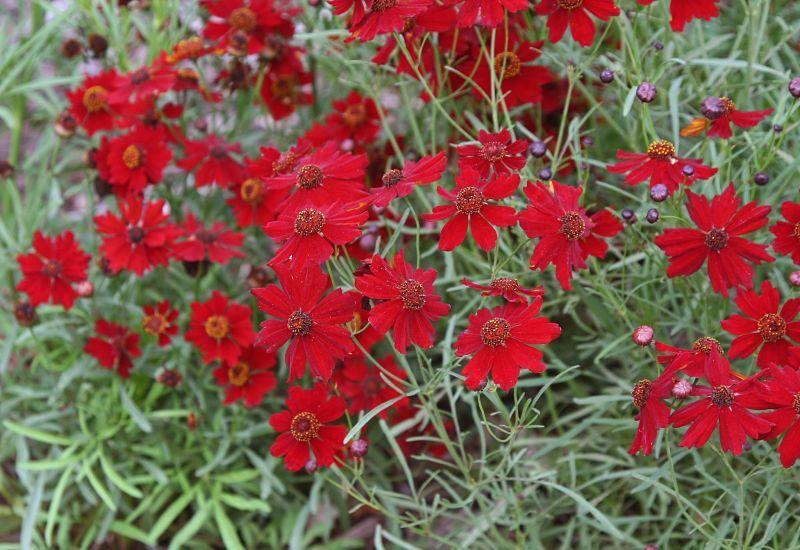 Photo of Plains Coreopsis (Coreopsis tinctoria 'Dwarf Red') uploaded by DianeSeeds
