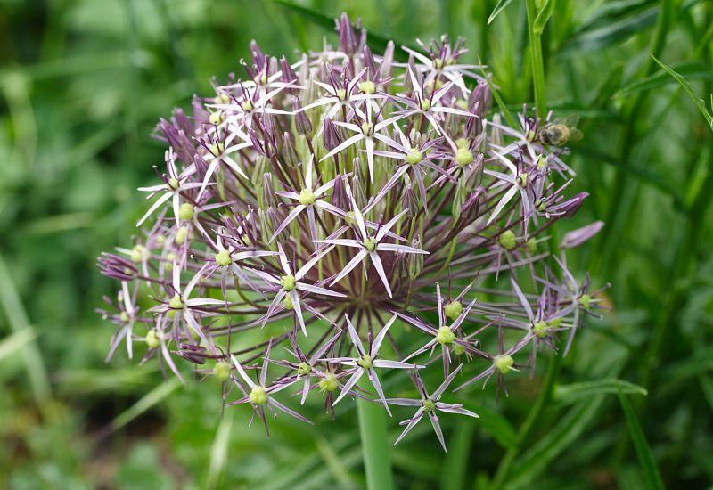 Photo of Stars of Persia (Allium cristophii) uploaded by DianeSeeds