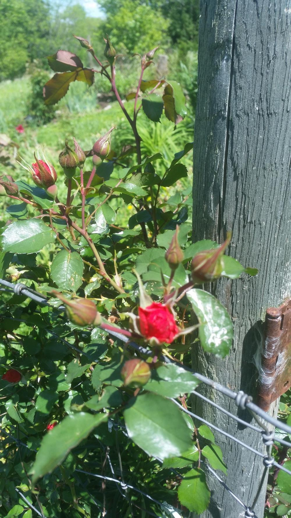 Mays Garden: Roses Forum: May 2017 Bloom And Chat