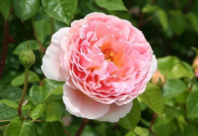Photo of Rose (Rosa 'Abraham Darby') uploaded by DianeSeeds