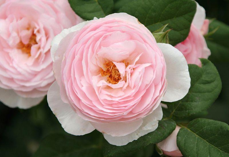 Photo of Rose (Rosa 'Heritage') uploaded by DianeSeeds