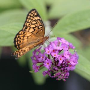 a newly emerged Variegated Fritillary on A Butterfly Bush bloom