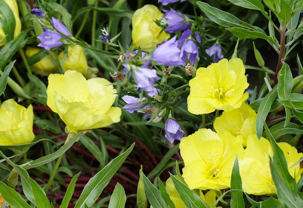 Photo of Evening Primrose (Oenothera macrocarpa) uploaded by DianeSeeds