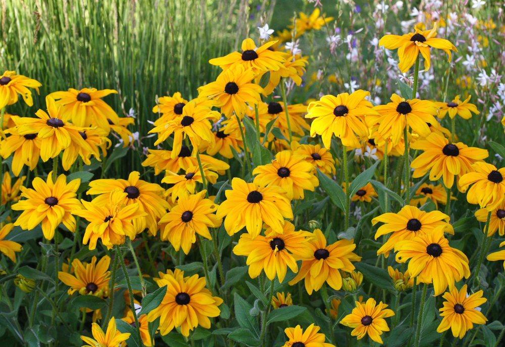 Photo of Black-Eyed Susan (Rudbeckia hirta 'Indian Summer') uploaded by DianeSeeds