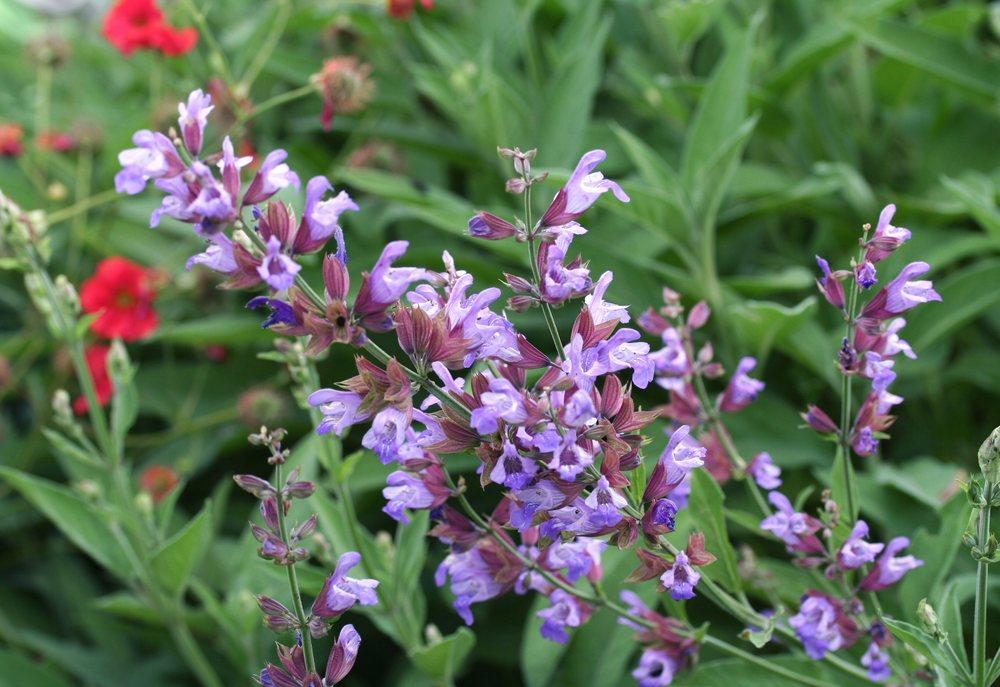 Photo of Culinary Sages (Salvia officinalis) uploaded by DianeSeeds