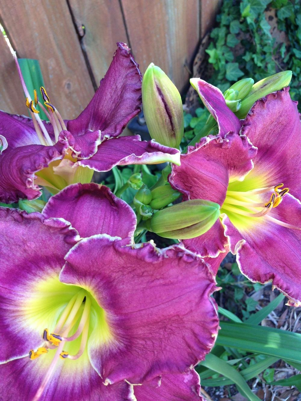 Photo of Daylilies (Hemerocallis) uploaded by DaisyRyder