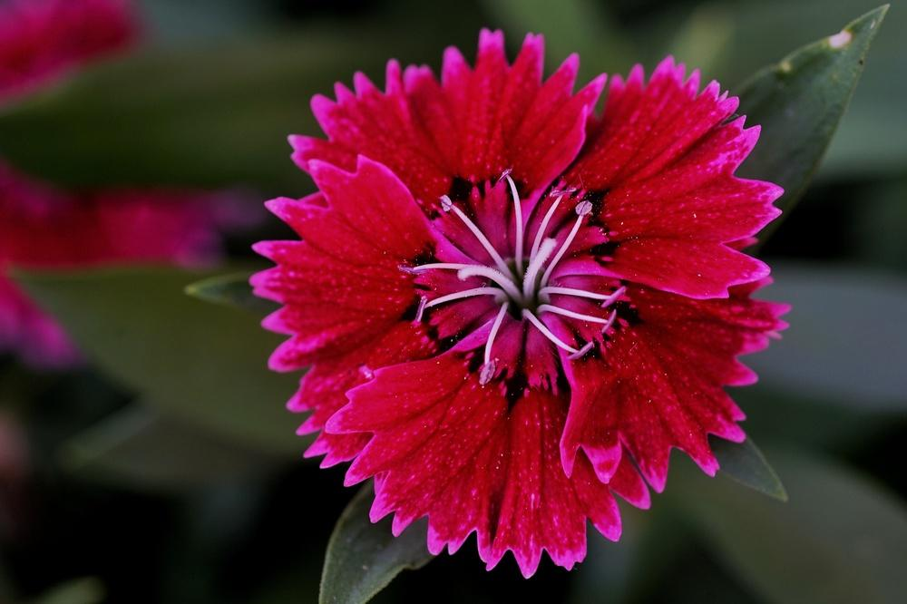Photo of Dianthus uploaded by hhj9521