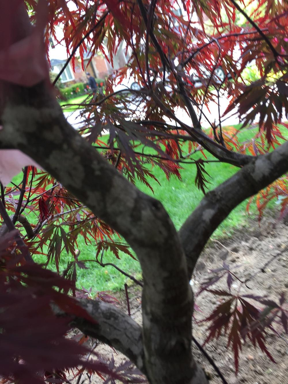 ask a question forum  spots on japanese maple bark