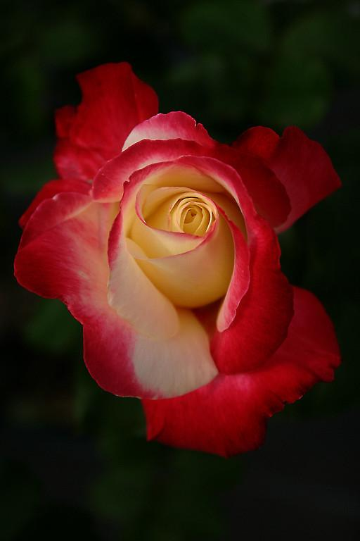 Photo of Rose (Rosa 'Double Delight') uploaded by loosertora